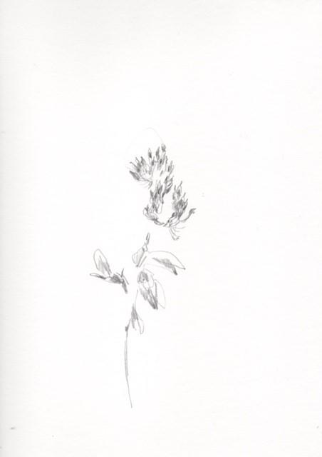 FIORI // Chiara Camoni // In questo tempo sospeso anche i gesti si sono rarefatti. Ho ricominciato a disegnare. Dei fiori. Un fiore ogni giorno, niente di più. // Dalla serie: Dal bosco e dal giardino. Prove di resistenza. 25/02/2020_ Trifoglio dei prati, matita su carta, cm 21 x 29,7 - work in progress // Courtesy of Chiara Camoni e SpazioA